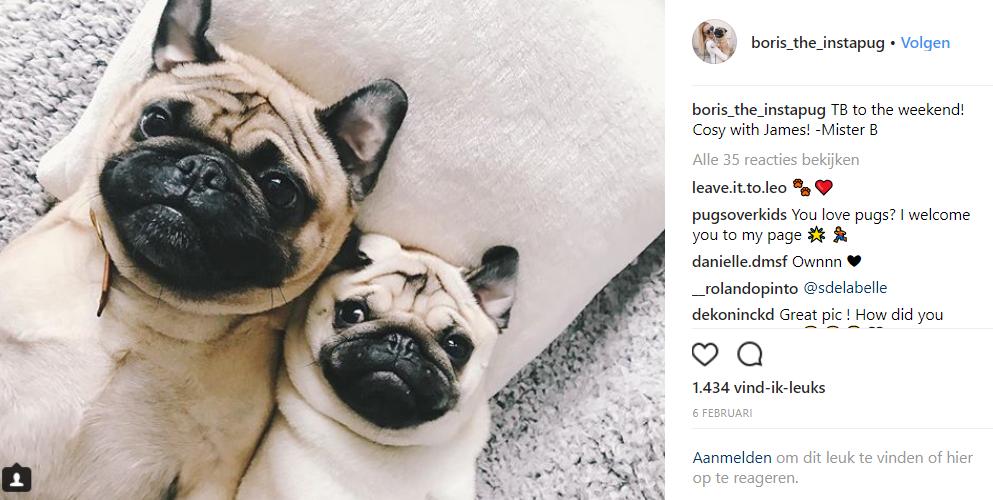 Voorbeeld social media post Boris The Instapug dog