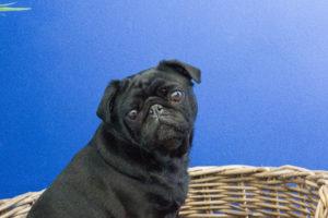 So Buzzy - office dog Lola